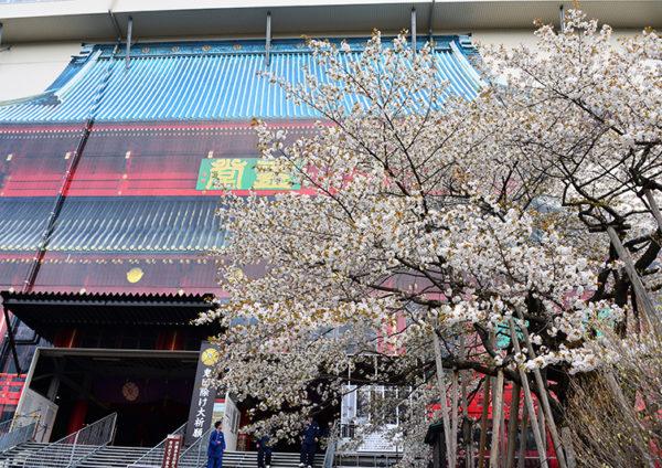 金剛桜について